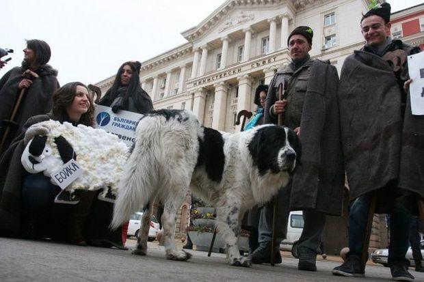 Студенти разходиха овцата бойка пред