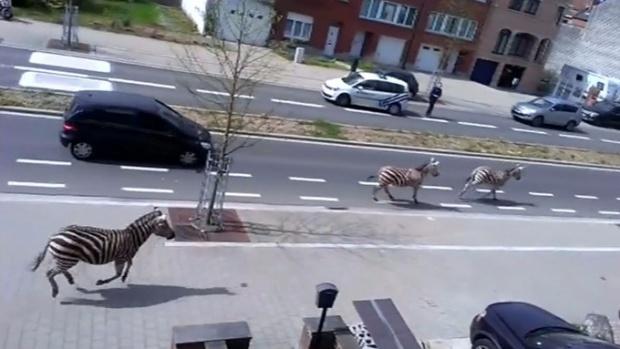 """Зебри бягат от зоопарк, пресичат по """"зебри"""" булевардите"""