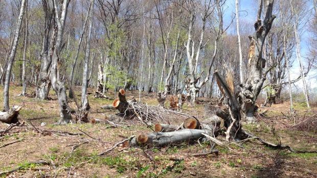 Извършителите на незаконна сеч в горите се чувстват безнаказани