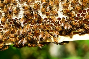 Проливните дъждове и влагата се отразяват негативно на пчелните семейства,
