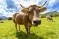 Крави угоявани с шоколад
