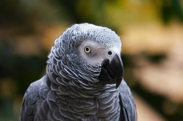 Джари – папагал имитатор (ВИДЕО)