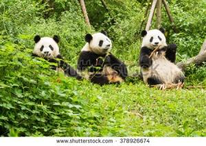 Пандата, спасила от изчезване вида си, навърши 26