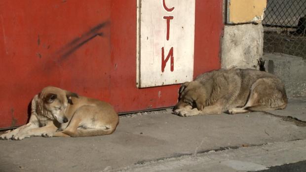 В Перник разследват смъртта на 19 кучета