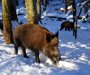 Диво прасе вилня в градче в южната част на Германия,