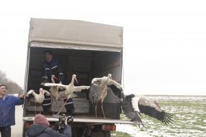 Експерти от РИОСВ-Русе днес опръстениха 62 щъркела в Силистренско. Опръстеняването