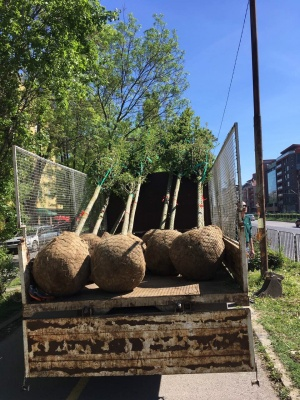Със засаждането на 60 едрогабаритни дървета от вида габър, стартира
