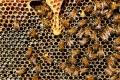 Производството на пчелен мед се увеличава