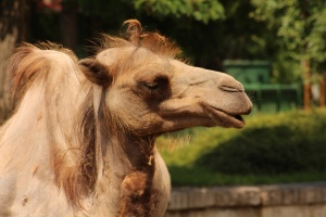 Столичният зоопарк се сдоби с ново екзотично животно – двугърбата