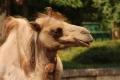 Нова камила ще радва посетителите на зоопарка в София