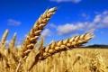Тази година пшеницата ще е по-малко и с по-ниско качество