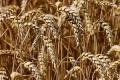 Дъждовете намалиха реколтата от пшеница с 1 милион тон