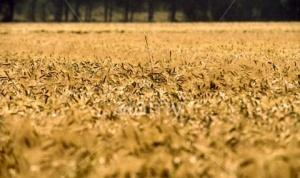 Пшеницата може да поскъпне