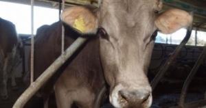 Няма разпространение на туберкулозата по говедата в Стрелча, съобщиха от