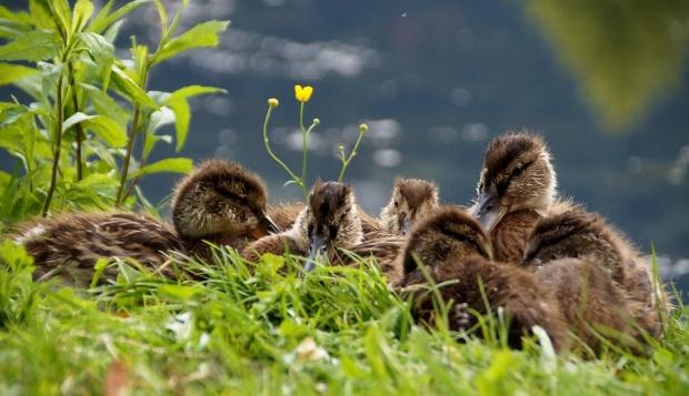 """Пускат 100 полудиви патици  в езерото в ж.к.""""Дружба"""""""