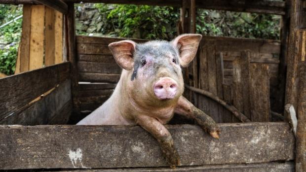 Откриха чума по свинете в още един окръг на Румъния