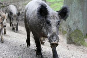 На базата на взетите над 1000 проби от диви прасета
