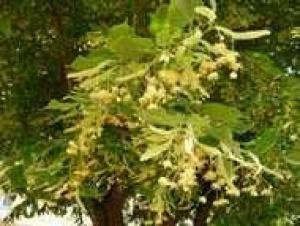 14 нови дървета– едроразмерни липи– са засадени в отсечката на
