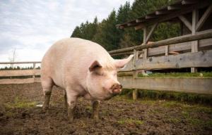 Към момента няма ново огнище на африканска чума по свинете.