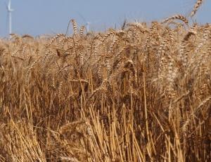 България бележи ръст в добива на зърнени култури
