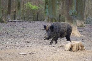 Снимка: Африканска чума при дива свиня в Силистренско