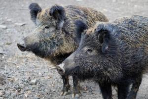 Снимка: Диви прасета с африканска чума в Добричко
