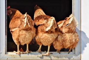 Снимка: БАБХ събира спешно птицевъдите заради птичия грип