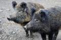 Диви прасета с африканска чума в Добричко