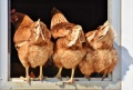 БАБХ събира спешно птицевъдите заради птичия грип
