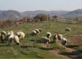 16 млн. национални плащания получиха козевъди и овцевъди