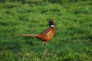 120 фазана ще се влеят в природатав един от столичните