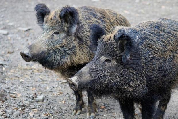 139 положителни проби за трихинелоза при диви свине отчете БАХБ за 2018-а
