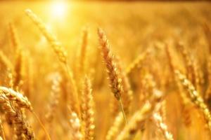 Снимка: По-слаба реколта от пшеница очакват в Добруджа