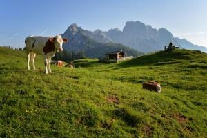 Планинарите, които преминават през австрийските алпийски пасища, ще трябва да