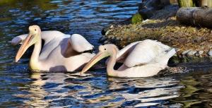 Отново стрелба по защитена птица – розов пеликан е бил
