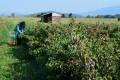 Млад фермер разширява почти 4 пъти овощните си градини с финансиране по подмярка 6.1