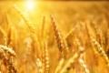 По-слаба реколта от пшеница очакват в Добруджа