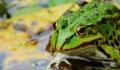 Новооткрита миниатюрна жаба се е крила милиони години