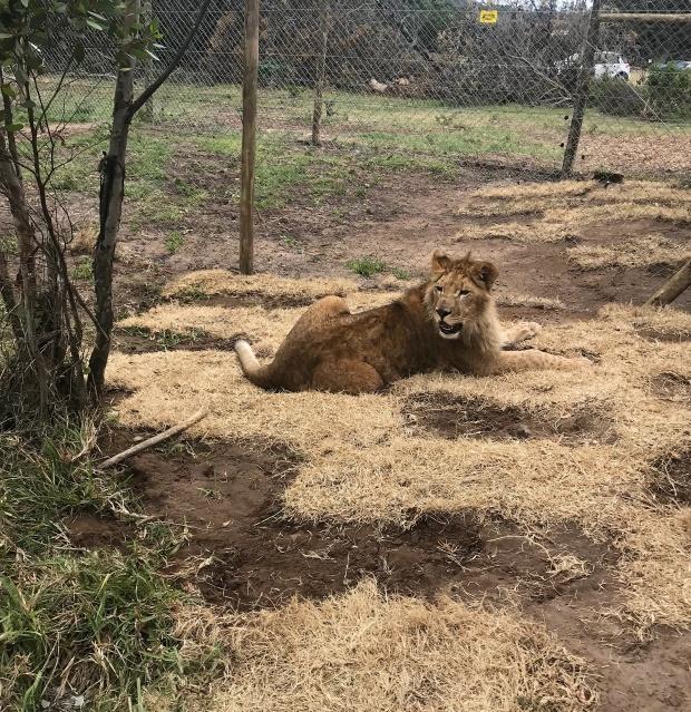 4 лъва се завърнаха в Южна Африка с Turkish Cargo