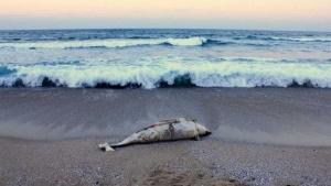 Морето изхвърли малко делфинче,попито с мазут, на Северния плаж на