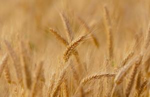 Снимка: България е най-големият вносител на пшеница във Великобритания