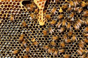 Снимка: Пчелите гинат по време на цъфтеж