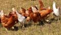 Нови случаи на птичи грип в област Пловдив