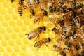 Намалява популацията на десет вида диви пчели