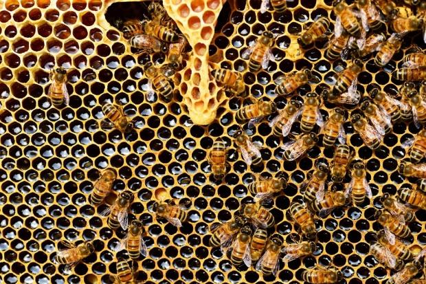 Пчелите гинат по време на цъфтеж