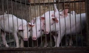 ТИР се обърна, 200 прасета отърваха кланицата