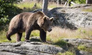 Бракониерът убил мечката в Рила с един изстрел в сърцето