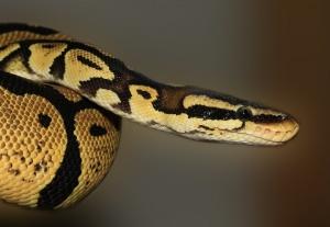Бум на ухапвания от змии в началото на лятото. Сигнали