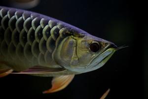 Отровната риба морски дракон дебне по плитчините на родното Черноморие.
