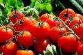 90% от доматите по сергиите вносни